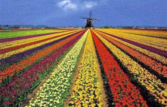 WyjzO9a5lyc 550x352 Цветущие поля Нидерландов