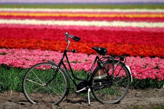 XisaKIL6s1k 550x367 Цветущие поля Нидерландов