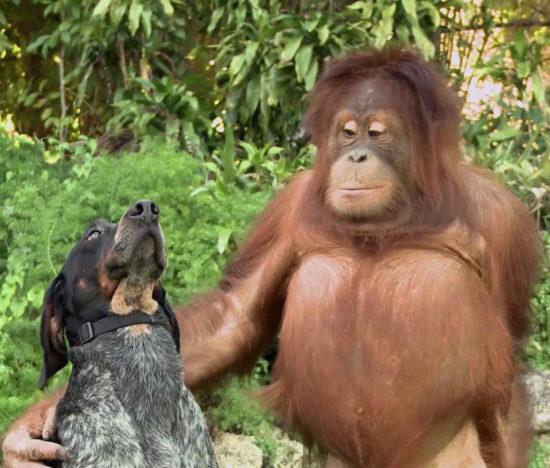android friends furever dog orangutan1 550x468 Без друзей меня чуть чуть, а с друзьями много