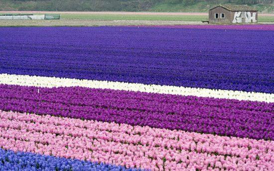 day 012 550x344 Цветущие поля Нидерландов