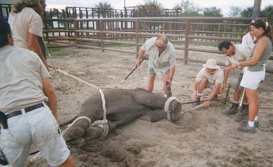 dressirovka zhivotnyh 1 550x338 Как дрессируют цирковых животных