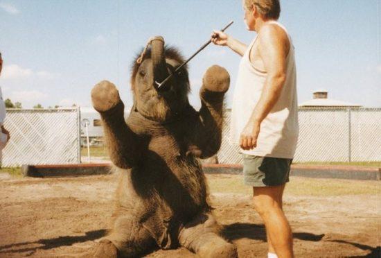 dressirovka zhivotnyh 13 550x372 Как дрессируют цирковых животных