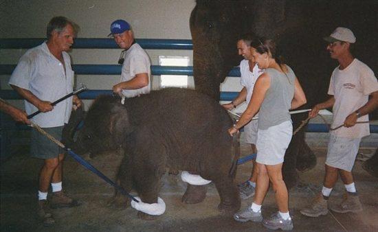 dressirovka zhivotnyh 4 550x338 Как дрессируют цирковых животных