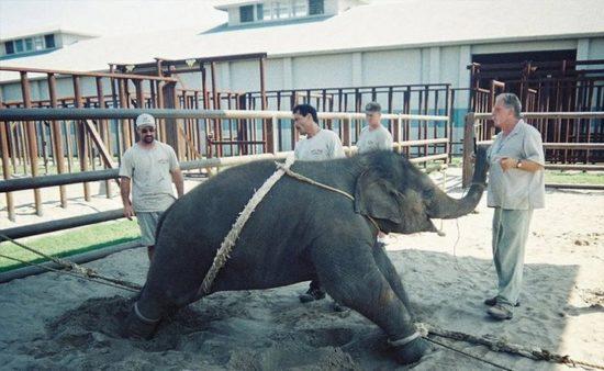 dressirovka zhivotnyh 6 550x338 Как дрессируют цирковых животных