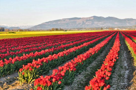 dsc 0337 550x365 Цветущие поля Нидерландов