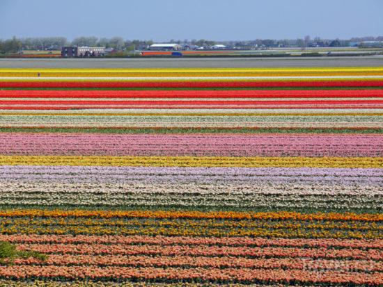 fields lisse 550x413 Цветущие поля Нидерландов