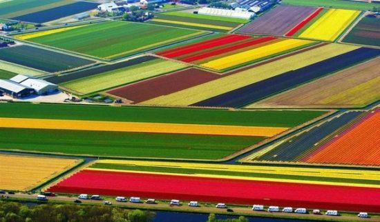 s5IIi6eIStI 550x322 Цветущие поля Нидерландов