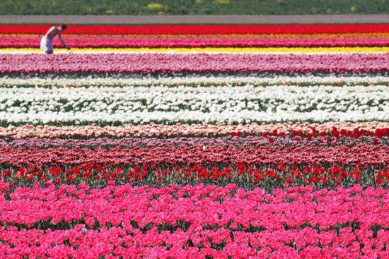supercoolpics 03 26022015173646 550x367 Цветущие поля Нидерландов