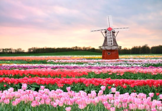 vesna tyulpany cvety rozovye 550x377 Цветущие поля Нидерландов