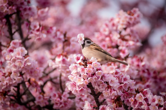 vishnya cvety rozovye vorobey 550x365 Весеннее