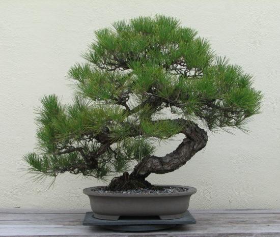 Japanese Black Pine 1936 2007 550x466 Сосна   знакомая незнакомка
