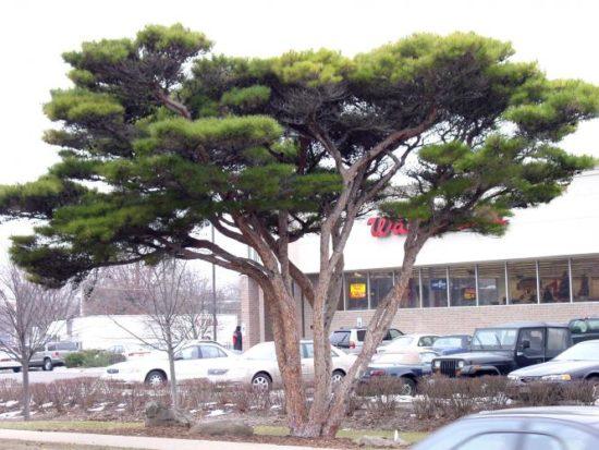 Pinus densiflora Umbraculifera 1 800 550x413 Сосна   знакомая незнакомка