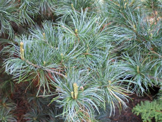 Pinus parviflora Glauca 01 550x413 Сосна   знакомая незнакомка