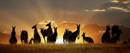 australia 550x226 Живые символы Австралии