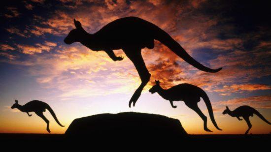 kenguru 550x309 Живые символы Австралии