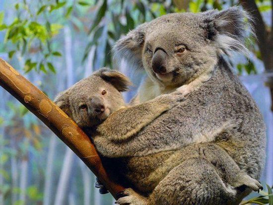 koala 8 550x413 Живые символы Австралии