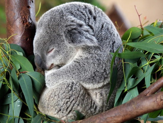 koala 03 550x413 Живые символы Австралии