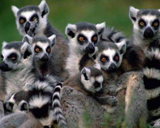 61376212 1278764510 1268833208lemur 550x440 Символы Мадагаскара