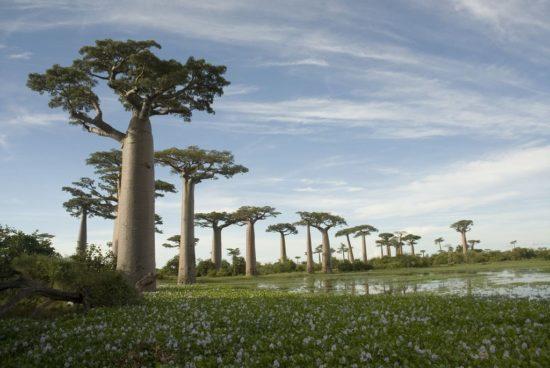 baobab 003 550x368 Символы Мадагаскара