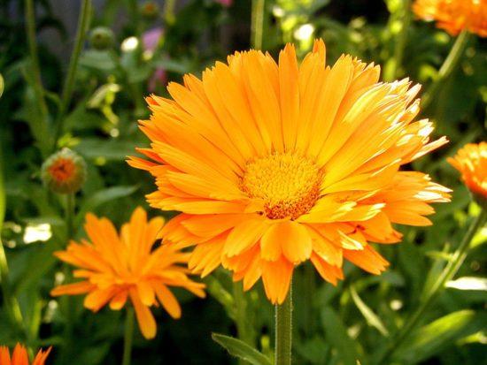 www flowerjpg ru 36 550x413 Календула   красота и польза