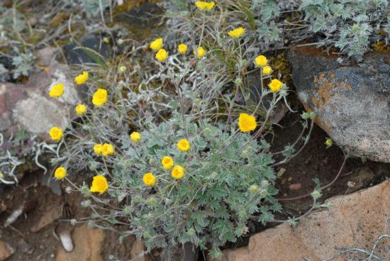 TNP 0239 camp7 Potentilla subvahliana 9048 550x368 Растения подушки   убежище крохотным горным мирам