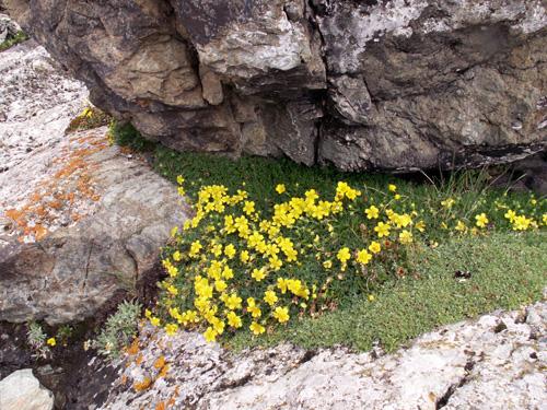 sary jaz 30 Растения подушки   убежище крохотным горным мирам