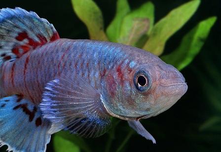 126821621658 Рыбки Конго