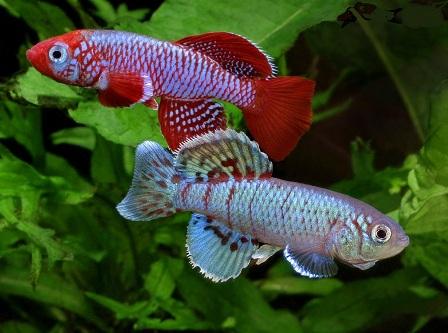 126821623725 Рыбки Конго