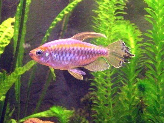 219 550x413 Рыбки Конго