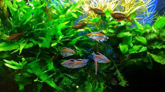 45914072 550x305 Рыбки Конго