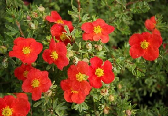 subscribe  admin  files potentilla marion red big 550x379 Лапчатка