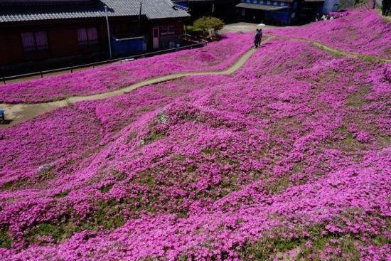 6845593 original 550x367 Несколько тысяч цветов ради жены