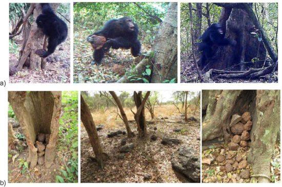 shim 550x366 Непонятные ритуалы в исполнении шимпанзе похожи на религию