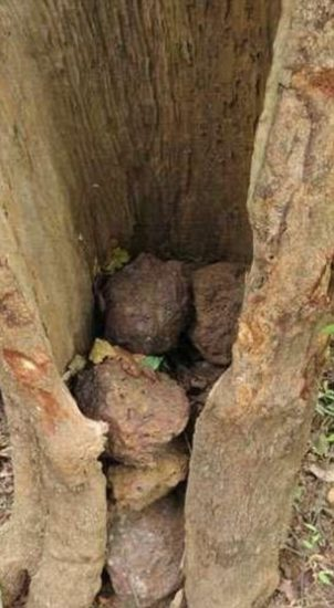 shim1 302x550 Непонятные ритуалы в исполнении шимпанзе похожи на религию