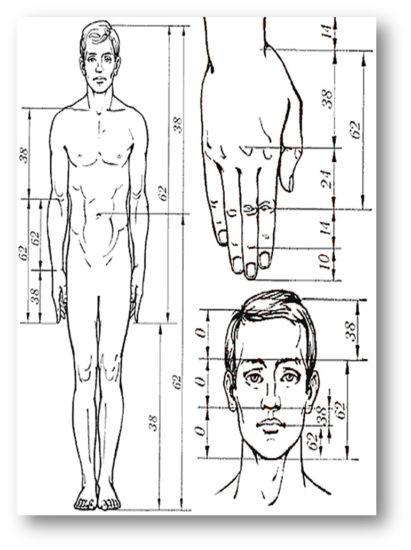 image013 411x550 Тело человека и золотое сечение